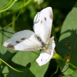 Pieris brassicae — Stock Photo