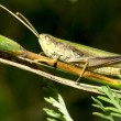 Grasshopper on blade of grass — Stock Photo