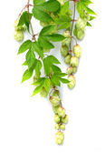 Branch of hops — Stock Photo