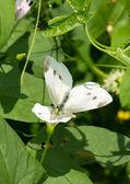Pieris brassicae — Stock Photo
