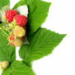 Branch with ripe raspberry — Stock Photo