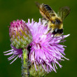 Bee on Thistle flower — Stock Photo #37248541