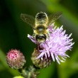 Bee on Thistle flower — Stock Photo #37248543