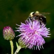 Bee on Thistle flower — Stock Photo #37248559