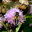 Bee on Thistle flower — Stock Photo #37248567