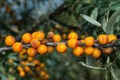 Buckthorn berries — Stock Photo