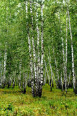 White birch trees — Stock Photo