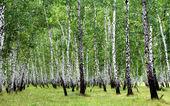 White birch trees — Stock Photo