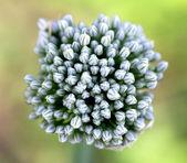 Onion flowers — Stock Photo
