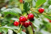 Cerezas maduras en la rama de un árbol — Foto de Stock