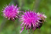 Thistle flowers — Stock Photo