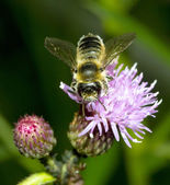 Bee on Thistle flower — Stock Photo