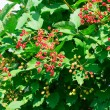 Viburnum tree — Stock Photo