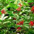 Rowanberry Tree — Stock Photo #37251915