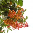 Rowanberry Tree — Stock Photo #37252771