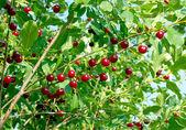 Cherries hanging on a cherry tree — Stock Photo