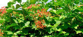 калина-дерево — Стоковое фото
