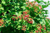 Viburnum tree — Photo