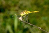 Dragonfly closeup — Stock Photo
