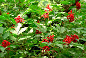 Rowanberry Tree — Stock Photo