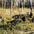 Stock Photo: Wild turkeys