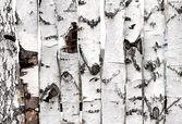 Texture de clôture en bois de bouleau — Photo