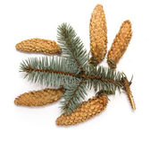 Pine cones with branch — 图库照片