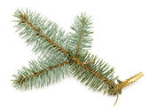 Natural pine branch — Stock Photo