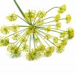 Fresh dill flowers — Stock Photo #37329513