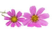 Purple cosmos flowers — Stock Photo