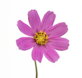 Purple cosmos flower — 图库照片