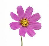 Purple cosmos flower — Stockfoto
