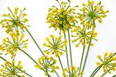 Fresh dill flowers — Foto Stock