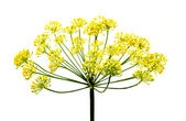 Fresh dill flowers — Stock Photo