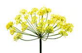 Čerstvý kopr květiny — Stock fotografie