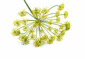 Fresh dill flowers — Stock Photo