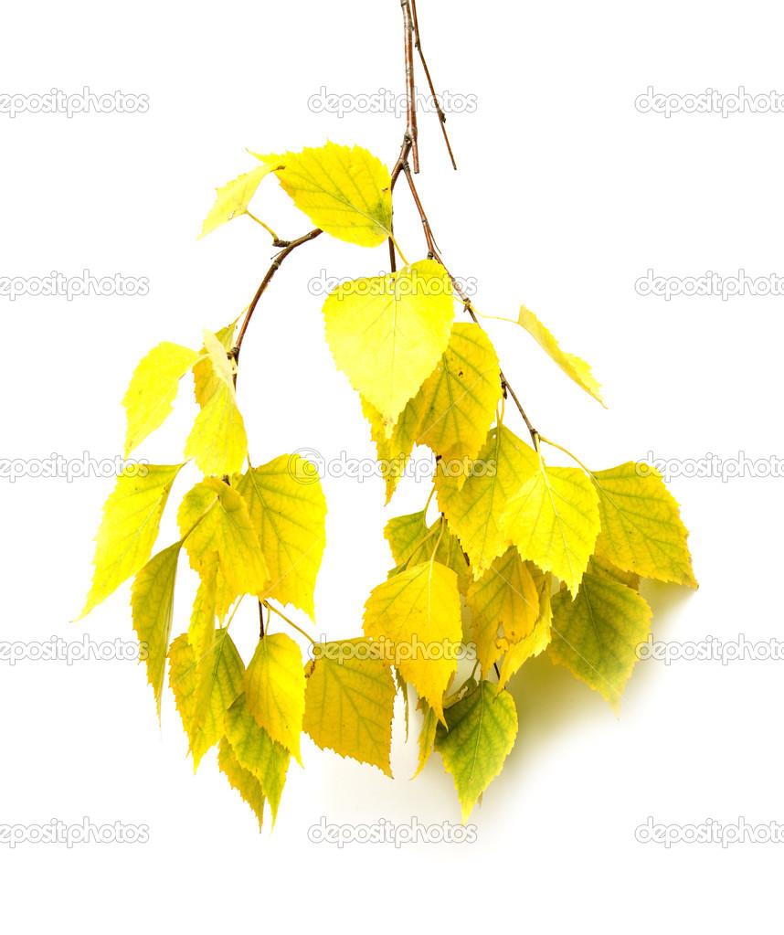 秋季桦木叶白色背景上– 图库图片