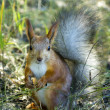 Red squirrel — Stock Photo #37330155