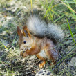 Red squirrel — Stock Photo #37330157