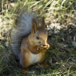 Red squirrel — Stock Photo #37330191