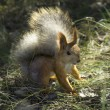 Red squirrel — Stock Photo #37330239