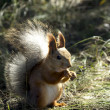 Red squirrel — Stock Photo #37330243