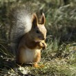 Red squirrel — Stock Photo #37330257