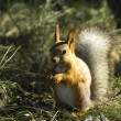 Red squirrel — Stock Photo #37330279