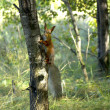 Red squirrel — Stock Photo #37330291