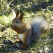 Red squirrel — Stock Photo #37330303
