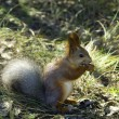 Red squirrel — Stock Photo #37330329