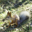 Red squirrel — Stock Photo #37330335