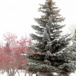 Winter landscape, spruce, rowan — Stock Photo #37330991