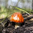 Stock Photo: Red Amanita